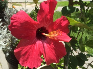 My hibiscus is blooming!